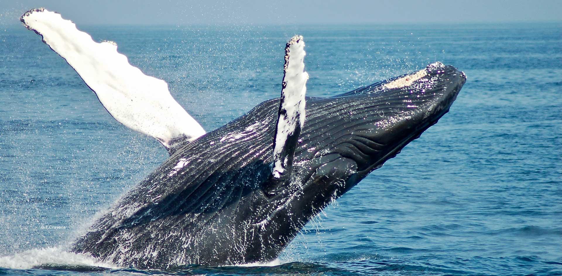 baleines-a-bosse