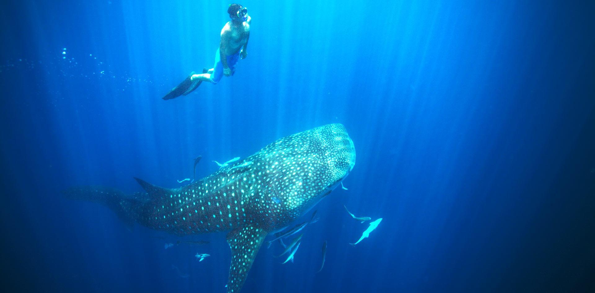 nager-avec-le-requin-baleine