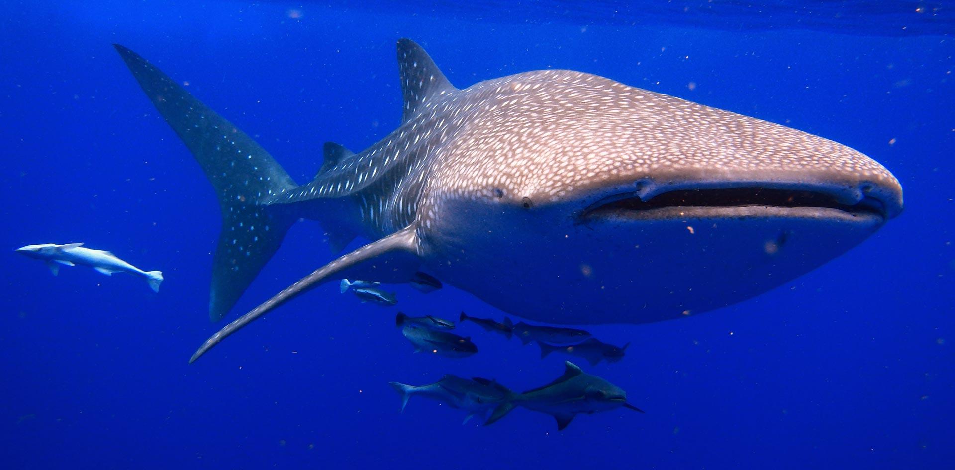 requin-baleine-madagascar
